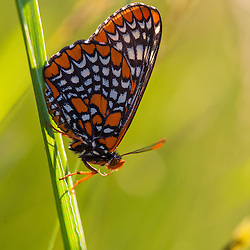 Baltimore Checkerspot butterfly, Euphydryas phaeton, in a field at Phillips Farm in Marshfield, Massachusetts.