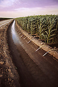 Irrigation: Cornfields are irrigated by water drawn from a small canal with siphon hoses. Kern county, California. USA.
