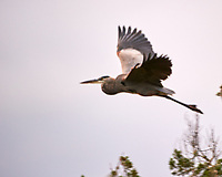 Great Blue Heron (Ardea herodias). Black Point Wildlife Drive. Merritt Island National Wildlife Refuge. Image taken with a Nikon D3s camera and 200-400 mm f/4 VR lens.