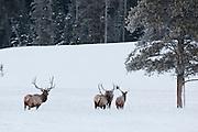 Herd of trophy bull elk in winter snow