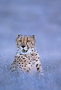 Image portrait of a cheetah (Acinonyx jubatus) gazing in the Masai Mara National Reserve in Kenya, by Randy Wells
