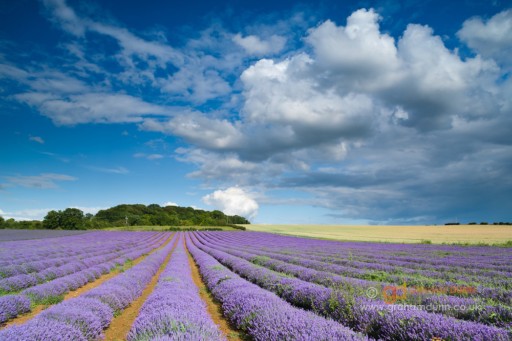 Rows of Heacham's famous lavender under a stunning Norfolk sky. North Norfolk, East Anglia,