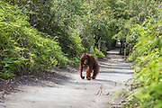 A female orangutan  (Pongo pymaeus) in the landscape carries her young on her back while walking on all fours down a forest path, Camp Leakey, Tanjung Puting National Park, Central Kalimantan, Borneo, Indonesia