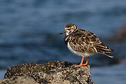 The turnstone is easily recognisable by its bright orange legs and tuk-tuk call - the classic ambient beach sound.
