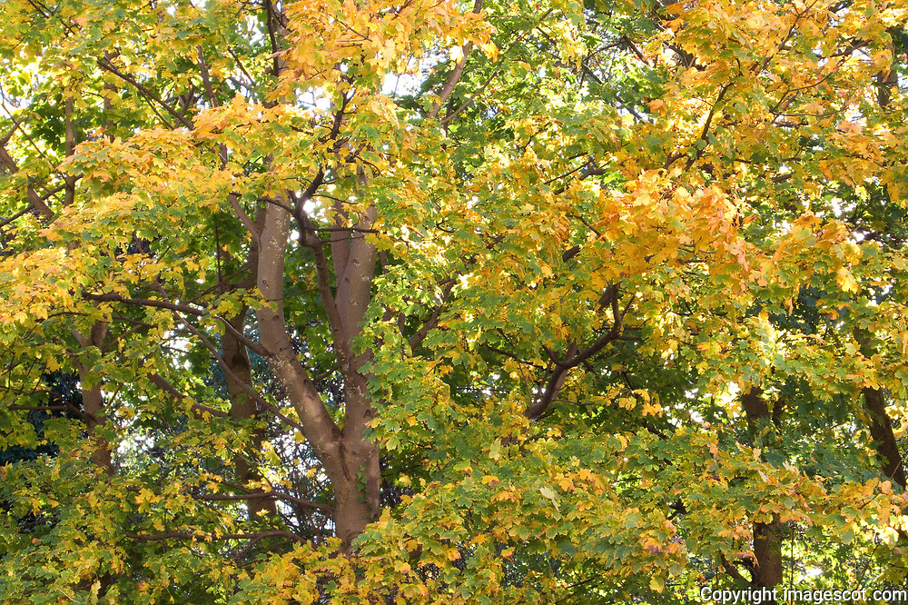 Autumn colours, maple tree<br /> *ADD TO CART FOR LICENSING OPTIONS*