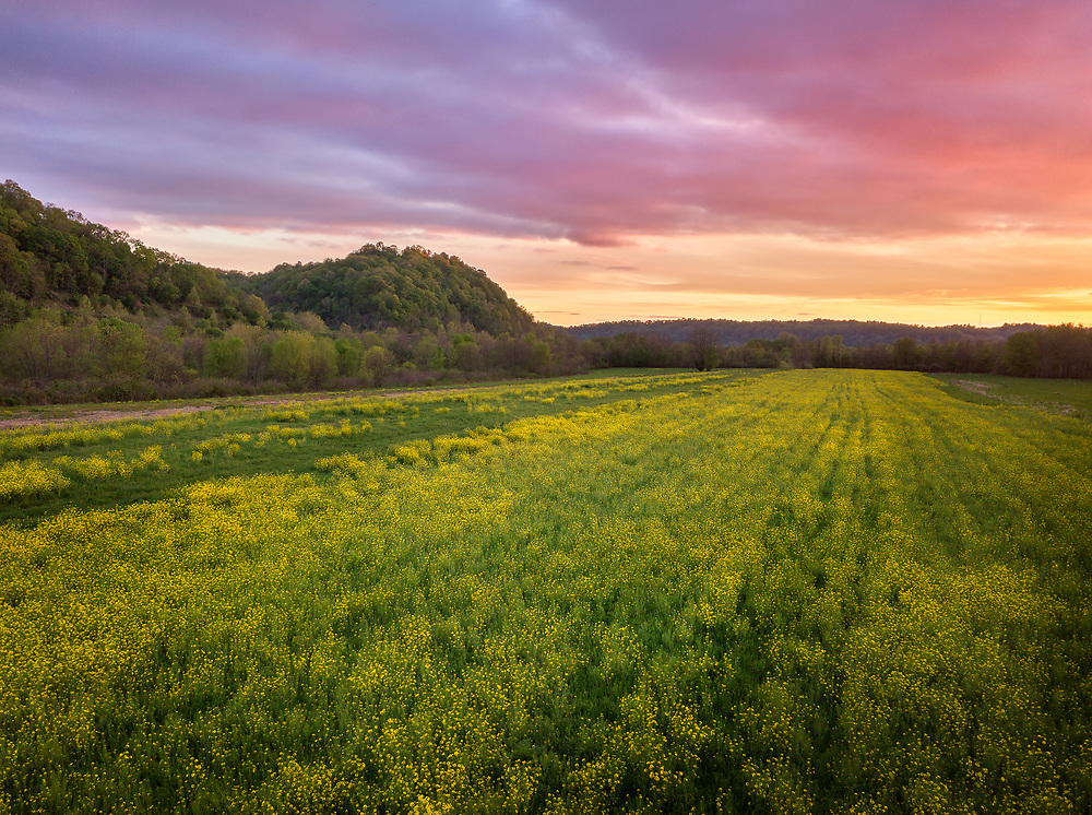 Yellow fields of wild mustard are in bloom above a Spring colorful sunset sky at Green Bottom, West Virginia.