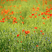 Wild poppies growing in a meadow, Provence-Alpes-Cote-D'Azur region, France