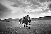 Horses along the Rocky Mountain Front, Montana.