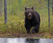 Brown Bear (Ursus arctos) at a lake deep in the forests of eastern Finland while the rain is pouring sown.
