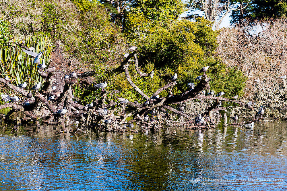 United States, California, San Francisco. Golden Gate park is the third most visited city park in the United States. Stow Lake, a colony of seagulls.