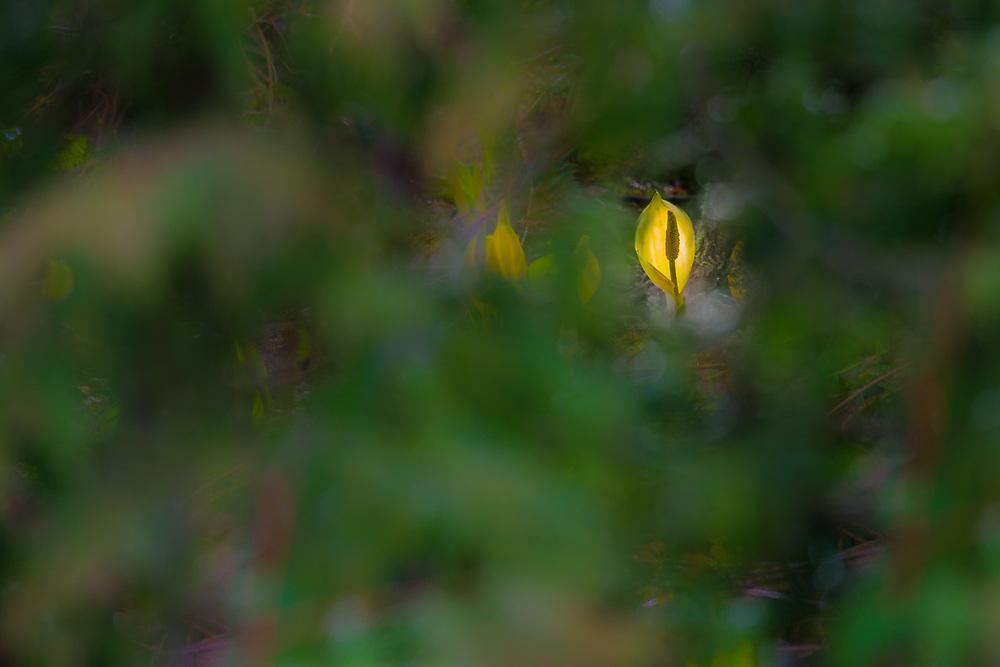 Skunk cabbage (Lysichiton americanus), spring, Olympic Peninsula, Clallam County, WA, USA