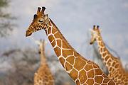 A family of Rothchild giraffes ( Giraffa camelopardalis rothschildi) playing, Lake Nakuru, Kenya,Africa