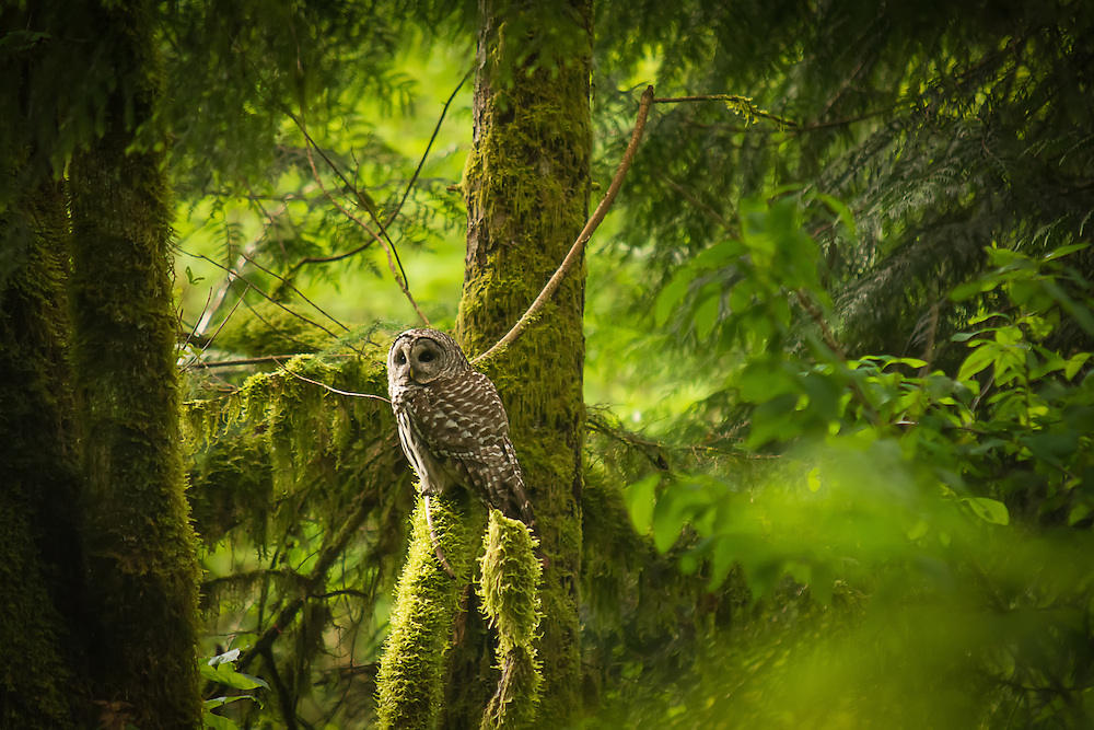 A barred owl focuses on an angry dive-bombing robin that is taking exception to a predator so close to home in an old-growth forest near Enumclaw, WA.