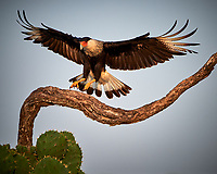 Crested Caracara (Caracara cheriway). Campos Viejos, Texas. Image taken with a Nikon Df camera and 80-400 mm VRII lens.