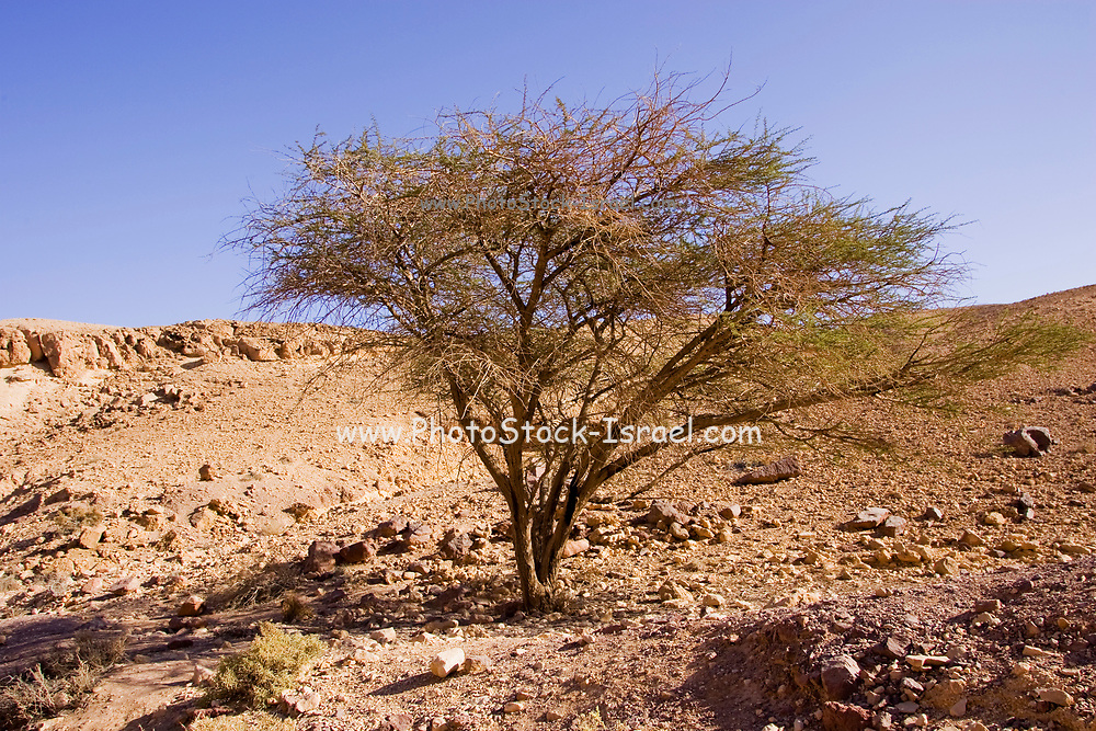 Red Canyon, Desert Landscape. Lone Acacia tree surviving in the arid landscape