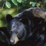 Portrait of a large black bear (Ursus americanus) in the forest of Minnesota during early fall.