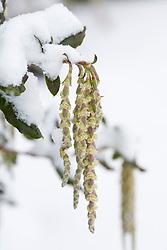 Garrya elliptica in snow. Silk-tassel bush