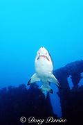 sand tiger shark, Carcharias taurus, wreck of the Caribsea, off Morehead City, North Carolina ( Western Atlantic Ocean )