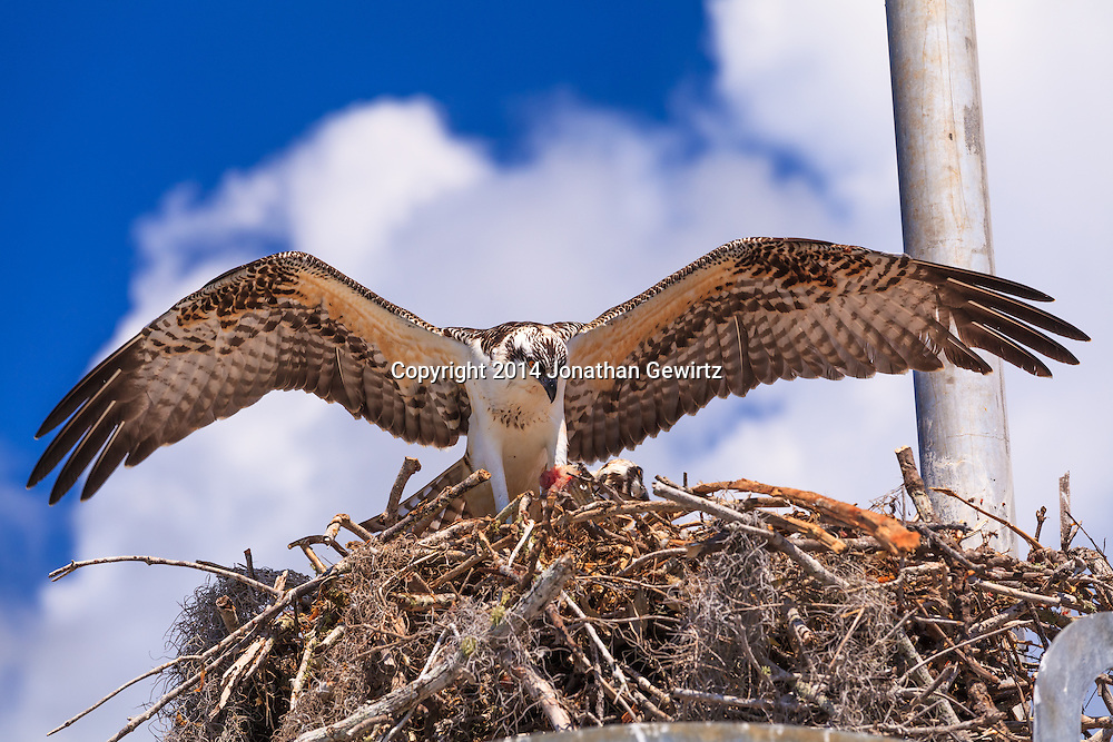 A pair of Ospreys (Pandion haliaetus), one of whom is eating a piece of fish, in their nest in the Flamingo section of Everglades National Park, Florida.<br /> WATERMARKS WILL NOT APPEAR ON PRINTS OR LICENSED IMAGES.