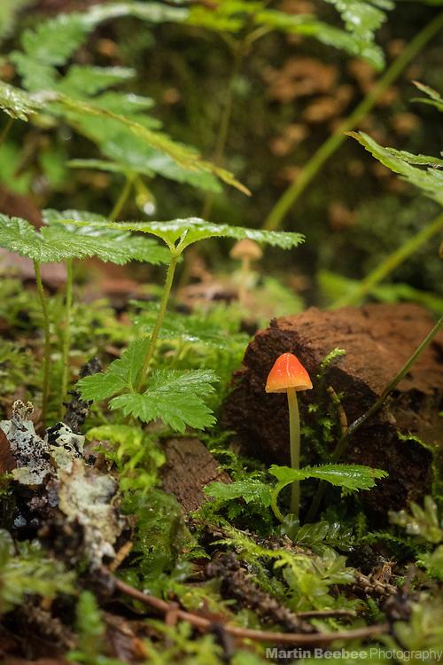 Tiny red mushroom on the forest floor, Chugach National Forest, Alaska