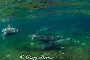 bottlenose dolphins, Tursiops truncatus, swim across seagrass bed, Abaco Islands, Bahamas ( Western Atlantic Ocean )
