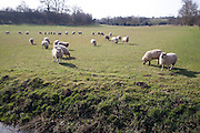 Sheep graze in pasture Tuddenham Suffolk