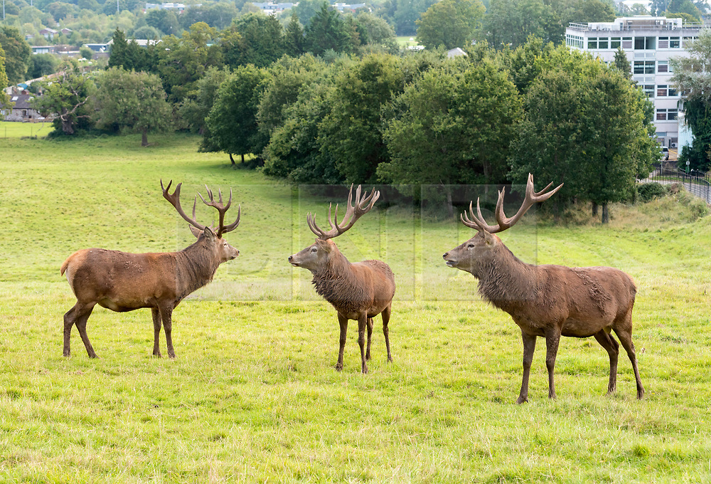 © Licensed to London News Pictures; 22/09/2021; Bristol, UK. Red deer stags are seen in the Deer Park at Ashton Court estate on the equinox, the first day of the Autumn season with greater than average temperature for the UK. Photo credit: Simon Chapman/LNP.