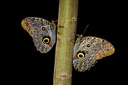 Pair of owl butterfly (Caligo sp., probably C. oileus) from Ecuador. (Controlled conditions).