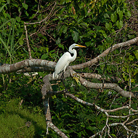 A Great Egret (Ardea alba) in the Amazon Jungle perches on a branch above the Yanayacu River.