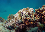white-spotted puffer, Arothron hispidus, perched on coral reef, Red Sea, Egypt