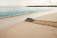 A Green sea turtle re-enters the southern Atlantic ocean after laying several hundred eggs. She will return next season.