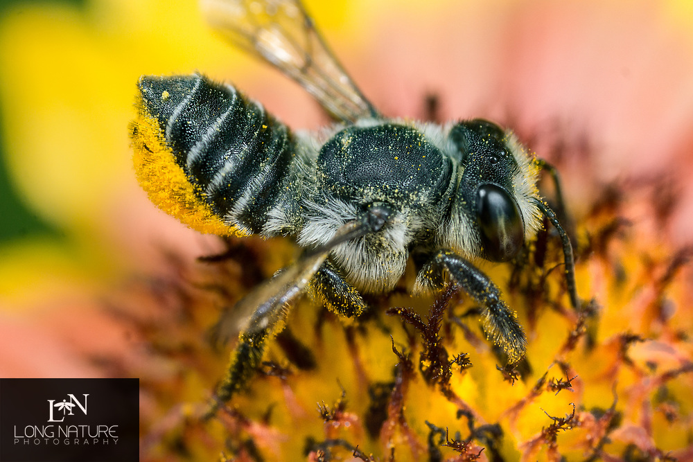 Megachile - Leaf Cutter Bee,  Photographed at the University of Florida Institute of Food and Agricultural Sciences Orange County Extension, Orlando USA.