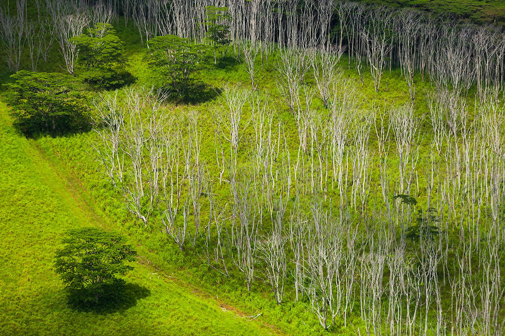 Aerial view of invasive albizia trees (Falcataria moluccana), many dead (possibly killed deliberately as a control measure) and bleached, on Kauai, Hawaii.