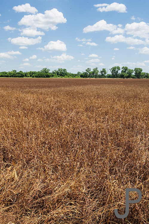 Mountain View, OK - Many wheat fields were lost to heavy spring rains and flooding in southwestern Oklahoma in 2015.