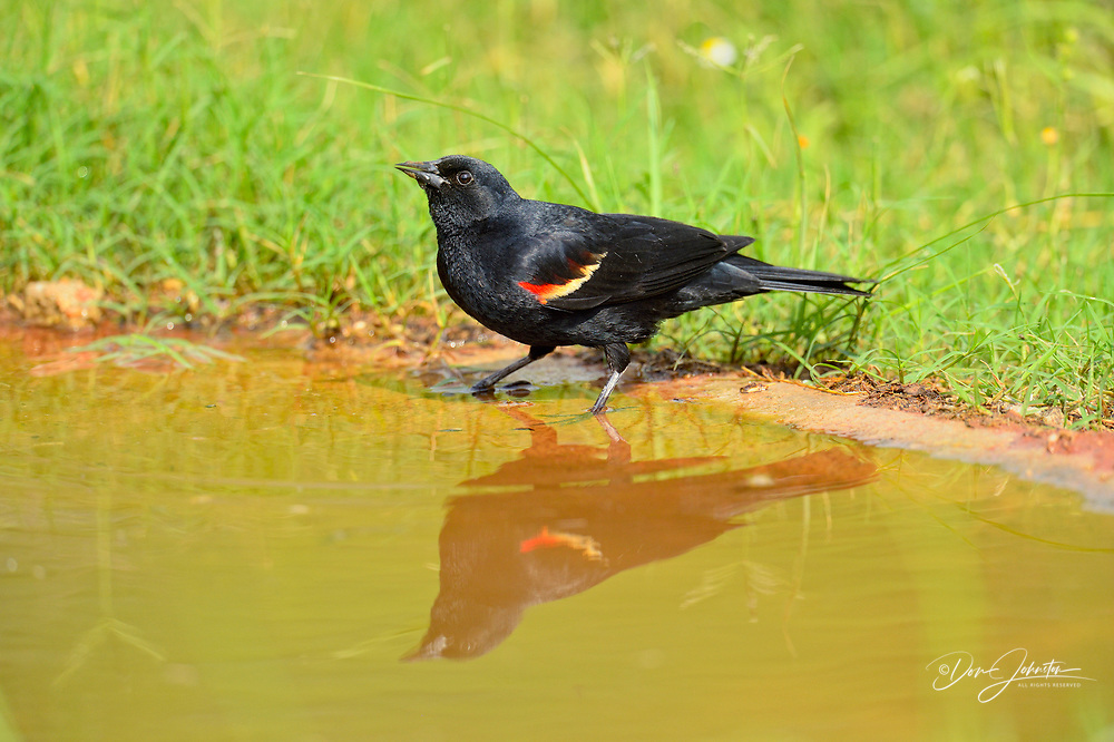 Red-winged blackbird (Agelaius phoeniceus) Male bathing, Rio Grande City, Texas, USA