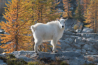 Mountain Goats<br /> (Oreamnos americanus) at Stiletto Lake, North Cascades National Park Washington