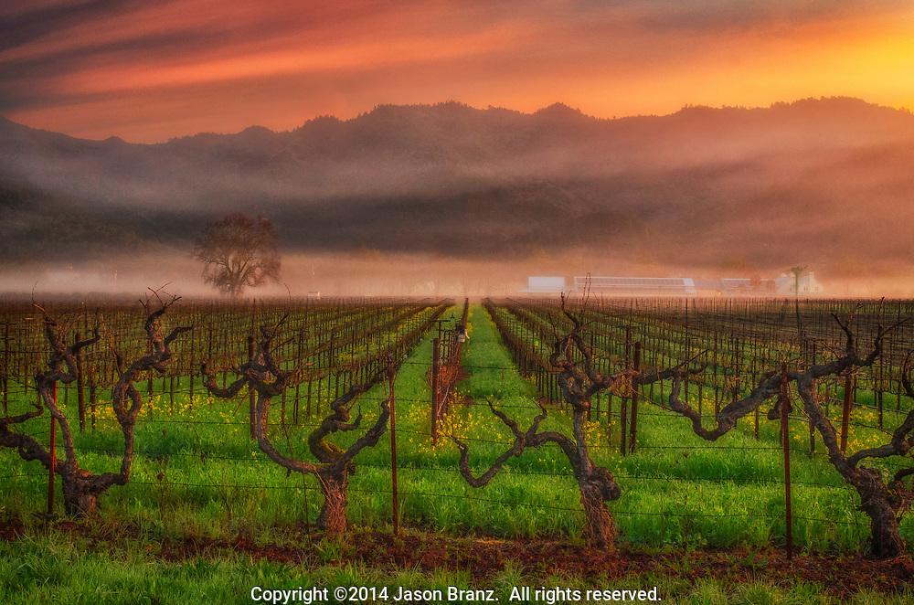 Sunrise over fog and vineyards, Napa Valley, California.