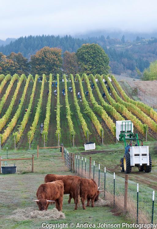 "Freshly picked  bin of pinot noir harvested from biodynamic vineyard ""Lauren's block' , 2010 harvest, Chehalem Mountains, Willamette Valley, Oregon"