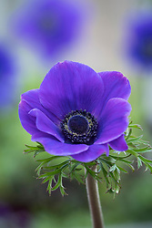 Anemone coronaria Jerusalem Blue