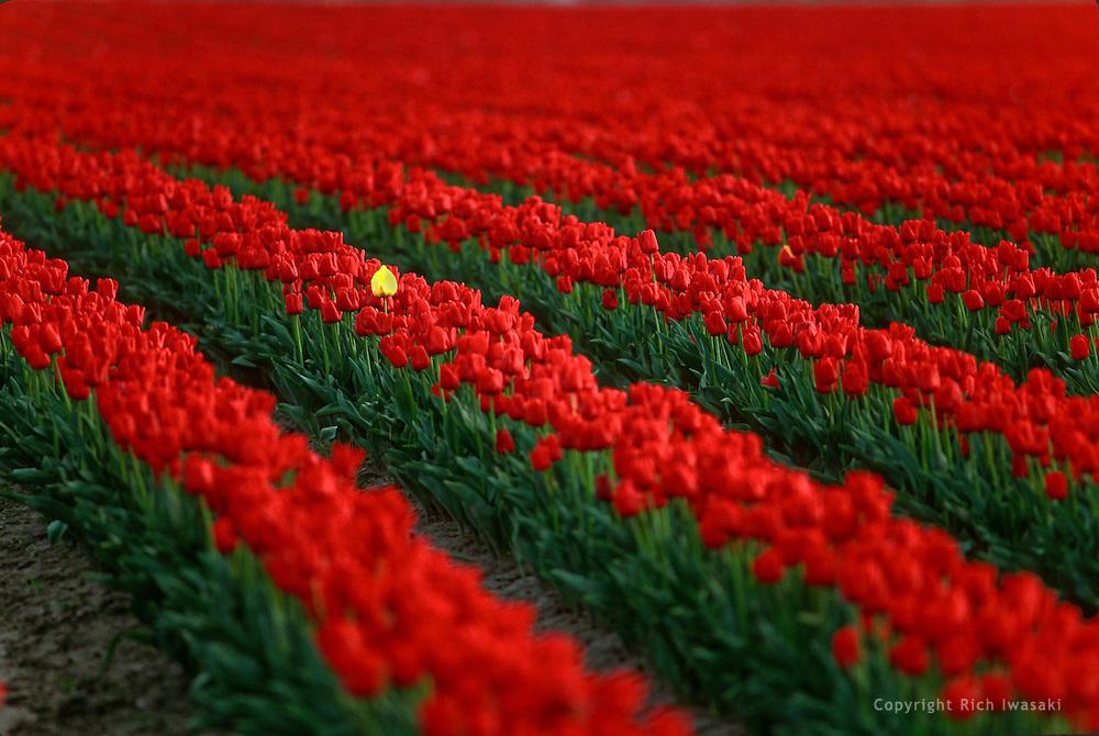 Rows of tulip blossoms in field at tulip farm, Skagit Valley, near Mt. Vernon, Washington