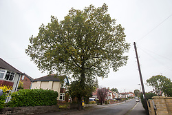 © Licensed to London News Pictures. 20/10/2017. Sheffield UK. A tree know locally as the Vernon tree on Vernon Road in Sheffield thats is due to be felled by Sheffield city council as part of the Streets ahead contract may have been thrown a life line after Tree's for Cities have said they will pay for engineering solutions to prevent the tree being felled. Last week Tv presenter Vernon Kay threw his weight behind the campaign to stop the tree being axed. The tree is just one of many earmarked in the long-running felling saga between Sheffield Council, contractor Amey and campaigners who are fighting to save it. The Vernon Oak was nominated for the Sheffield Tree of the Year 2017. The council says the felling and replacement of 6,000 of the city's 36,000 street trees is necessary, but campaigners say there are ways to save healthy trees within the Streets Ahead contract. Photo credit: Andrew McCaren/LNP