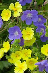 Potentilla recta 'Warrenii' with Geranium 'Brookside'