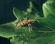 Longhorn Beetle - Rhagium mordax