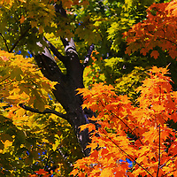 """""""Those Old Maples""""<br /> <br /> Beautiful fall color on large Maple trees!<br /> <br /> Fall Foliage by Rachel Cohen"""