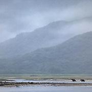 Alaska brown bear (Ursus middendorffi) adults along the tidal flats. Alaskan Peninsula