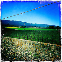 25 February 2012: Spring wine vines growing Oakville, Napa, California.  iPhone Stock Photo
