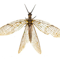 Megaloptera - Dobsonflies, Fishflies