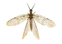 Chauliodes pectinicornis - Summer Fishfly.  Attracted to UV light.  Photographed at Fort Mountain State Park, GA USA.