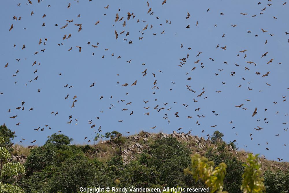 Photo Randy Vanderveen.Kibuye, Rwanda.Thousands of fruit bats blacken the sky above Napoleon Island on Lake Kivu.