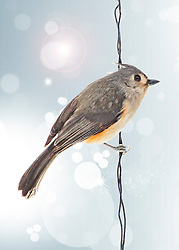 The Tufted Titmouse is a small songbird from North America, a species in the tit and chickadee family. The active and noisy tufted, North America's most widespread titmouse, is remarkably uniform morphologically, genetically, vocally, and behaviorally throughout its range. Besides gleaning trees and shrubs for arthropods, it spends more time on the ground searching leaf litter than do chickadees and most other titmouse species.<br /> <br /> A little gray bird with an echoing voice, the Tufted Titmouse is common in eastern deciduous forests and a frequent visitor to feeders. The large black eyes, small, round bill, and brushy crest gives these birds a quiet but eager expression that matches the way they flit through canopies, hang from twig-ends, and drop in to bird feeders. When a titmouse finds a large seed, you'll see it carry the prize to a perch and crack it with sharp whacks of its stout bill. <br /> <br /> Tufted Titmice are acrobatic foragers, if a bit slower and more methodical than chickadees. They often flock with chickadees, nuthatches, and woodpeckers and are regular visitors to feeders, where they are assertive over smaller birds. Their flight tends to be fluttery but level rather than undulating.